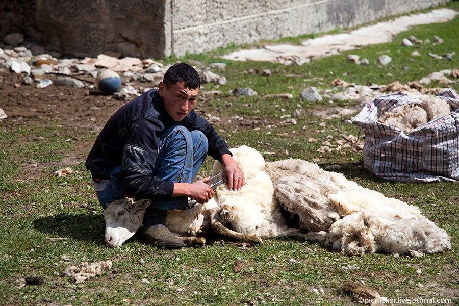 Весна — пора стричь овец