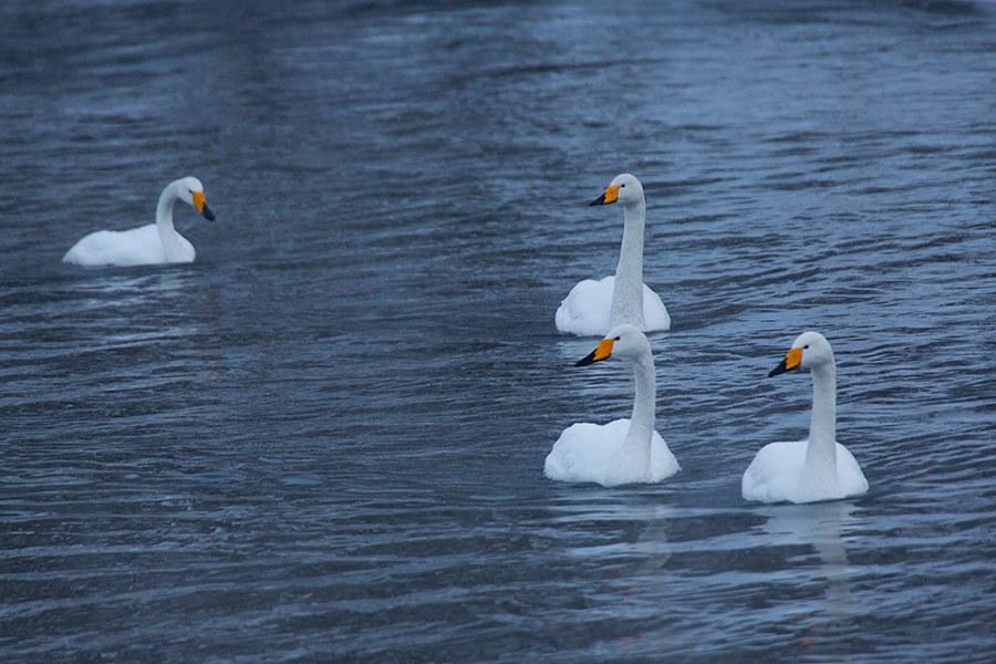 Лебединая Камчатка