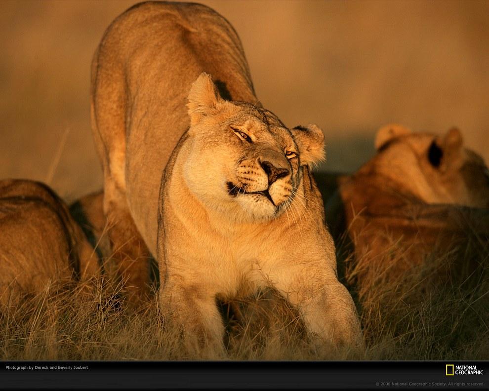 Львица, Ботсвана. Обычно в львином прайде живут от 2 до 18 самок с детенышами