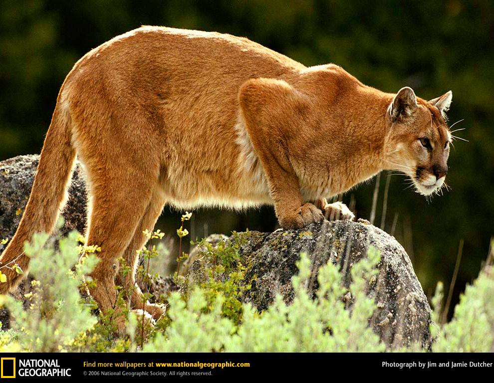 Пума или горный лев