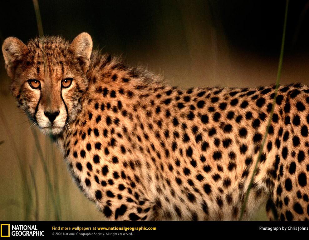 Гепард или просто самое быстрое наземное животное