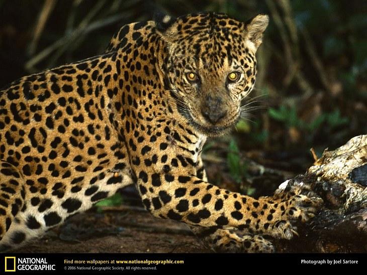 Ягуар — самый сильный хищник Южной Америки