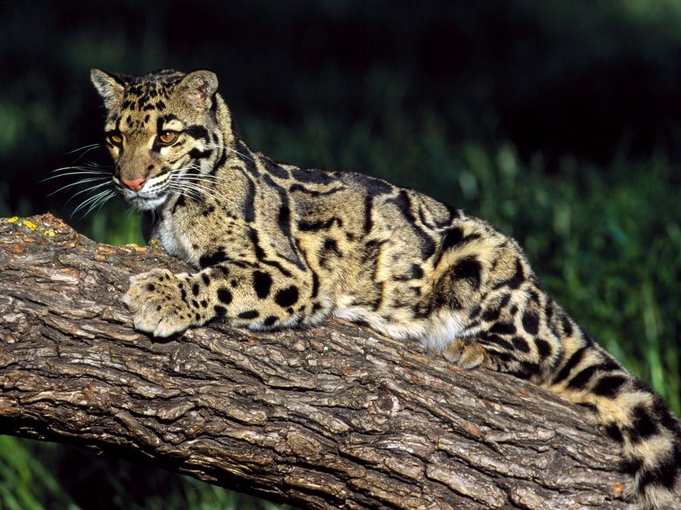 Это дымчатый леопард