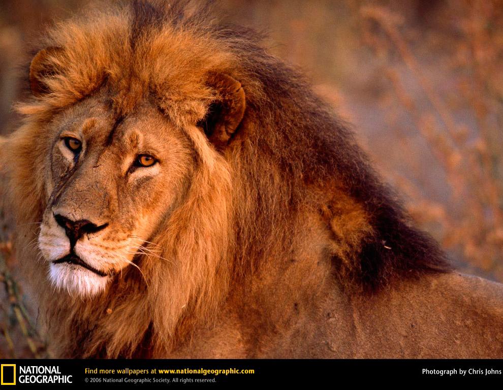Территория африканского льва