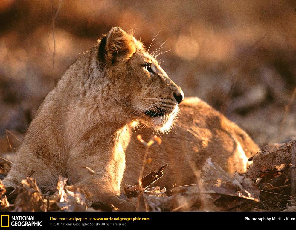 Азиатский лев был распространён на территории южной Евразии от Греции до Индии