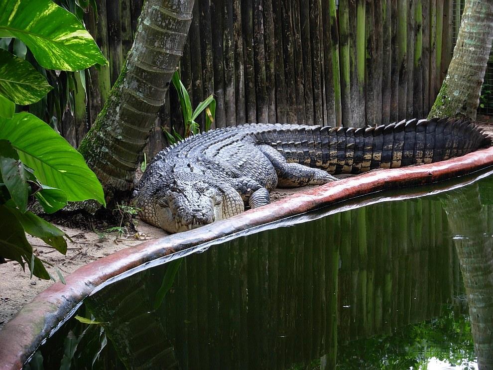 Крокодила назвали Кассиусом Клеем в честь в честь легендарного боксера Кассиуса Клея
