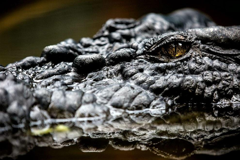 Крокодилы — древнейшие и мощнейшие хищники, появившиеся около 250 млн. лет назад
