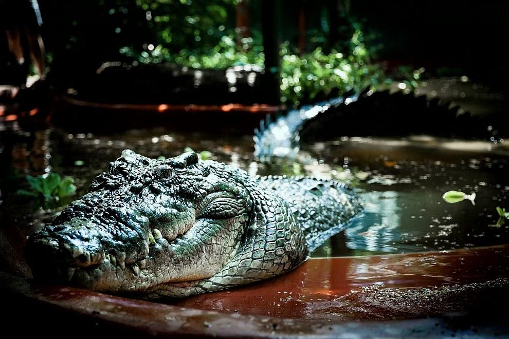 Точный возраст крокодила неизвестен, но эксперты оценивают его примерно в 110 лет