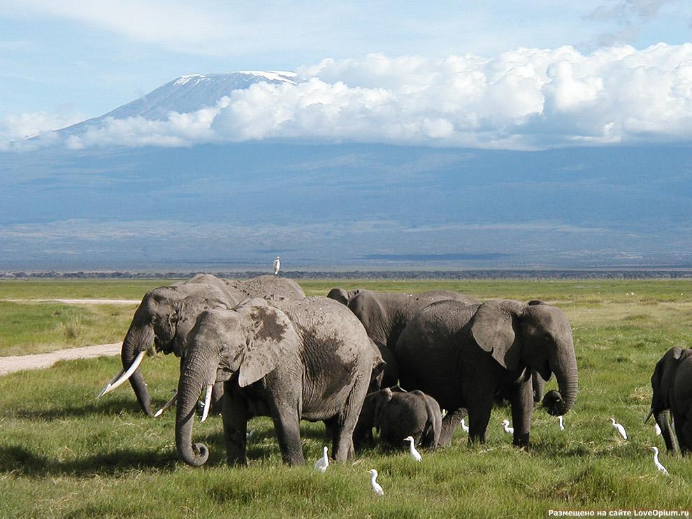 Африканские слоны национального парка Амбосели в Кении