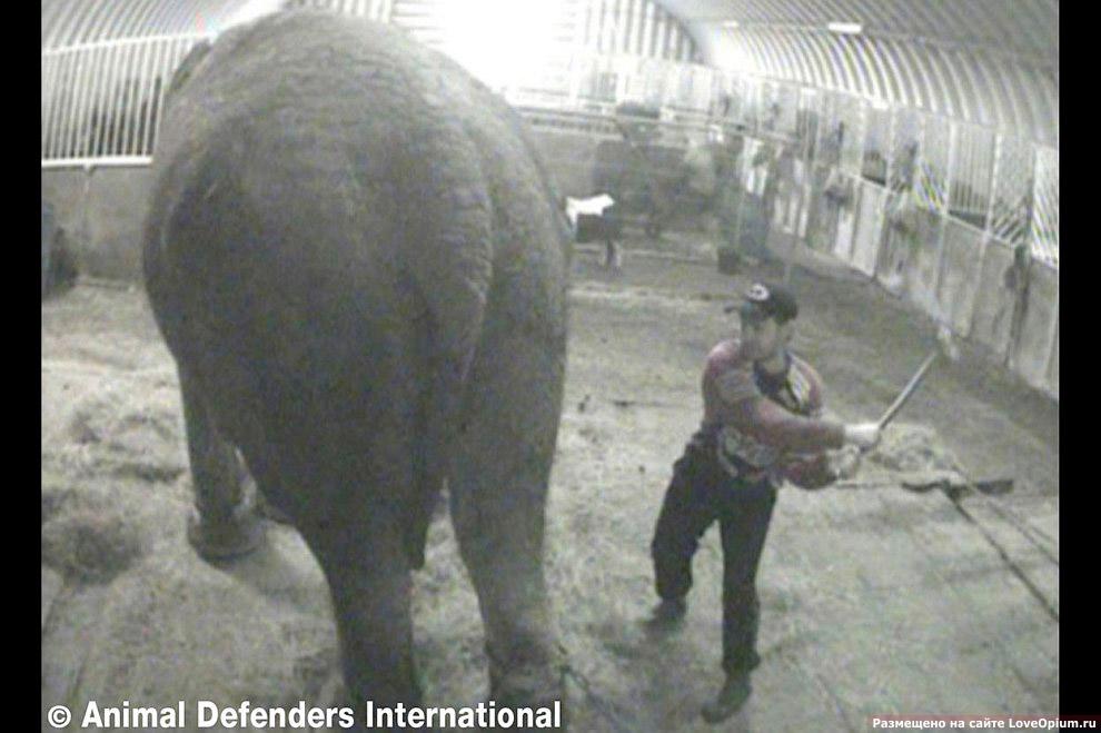 Обслуживающий персонал цирка в Лондоне избивал палкой слониху Анну