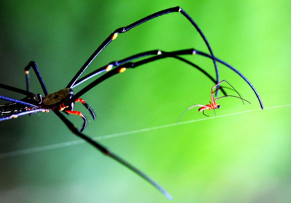 Nephila — самый большой плетущий паутины паук