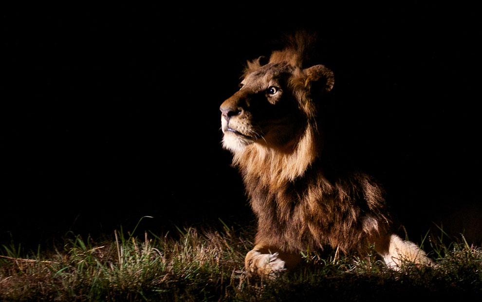 Лев услышал какие-то звуки о оценивает угрозу