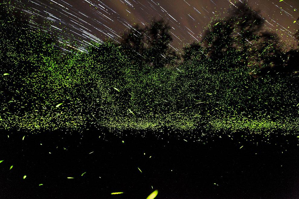 Десятки тысяч танцующих светлячков