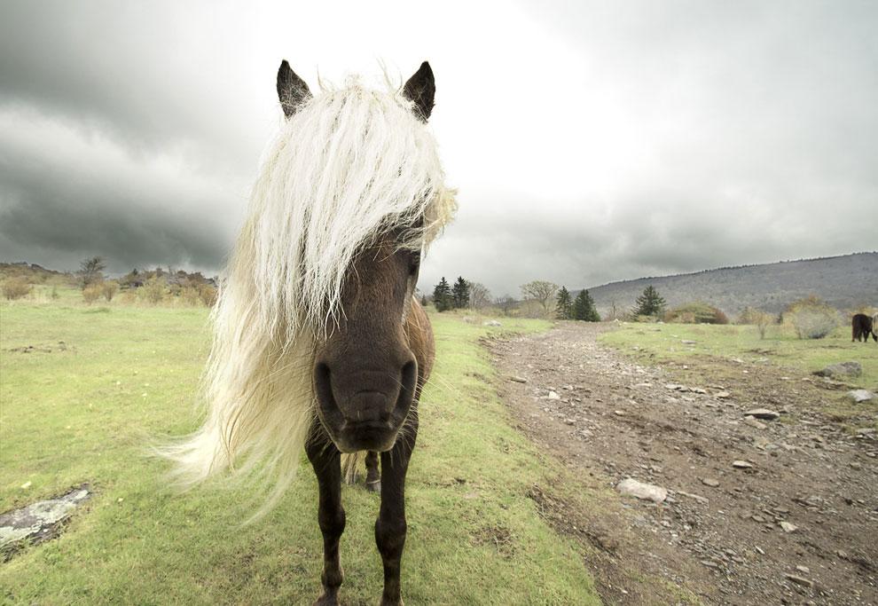 Дикий пони на горе Роджера в штате Вирджиния