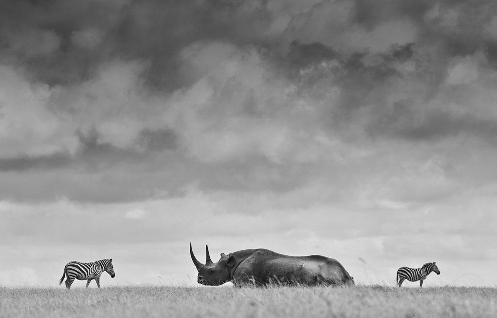 Черный носорог и зебры в Кении