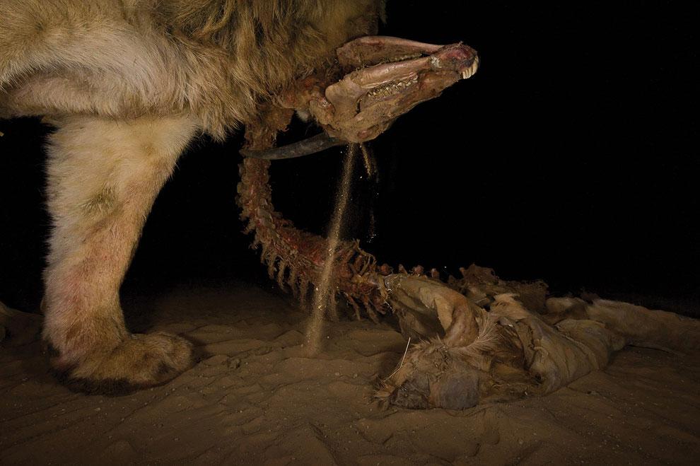 Добыча льва — Канна — наиболее крупная из всех антилоп, пустыня Калахари