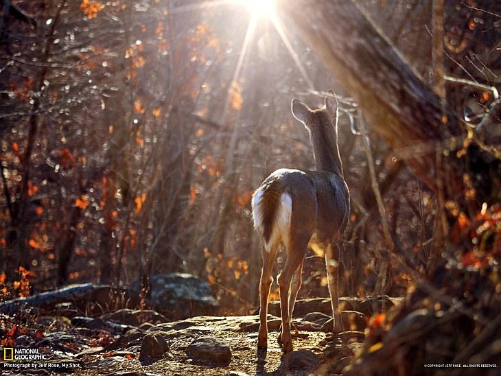 Виргинский олень, Арканзас