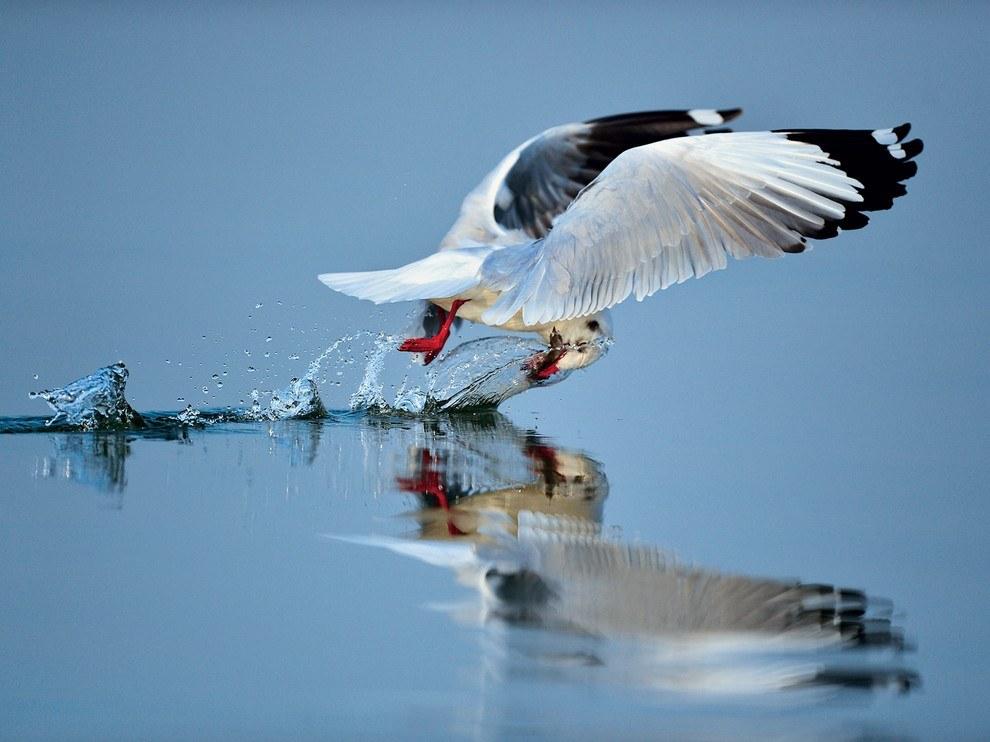 Буроголовая чайка, Индия