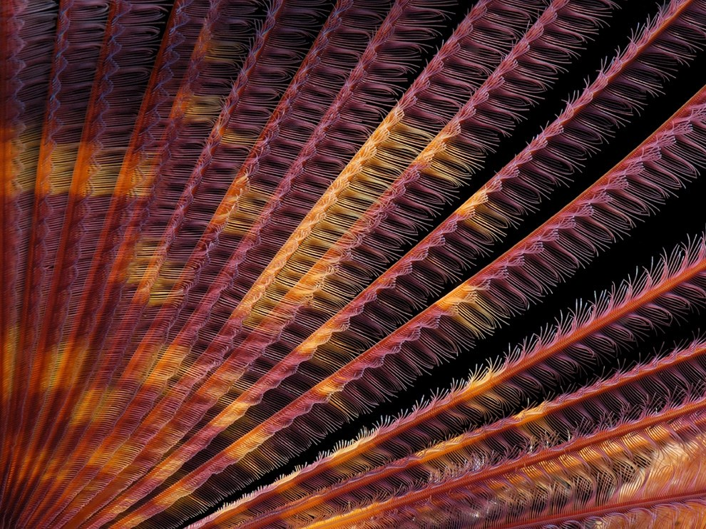 Щупальца червя-сабеллида, Гавайи