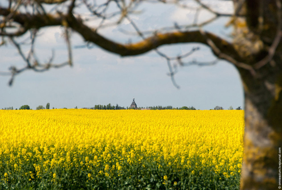 Рапсовые поля во Франции