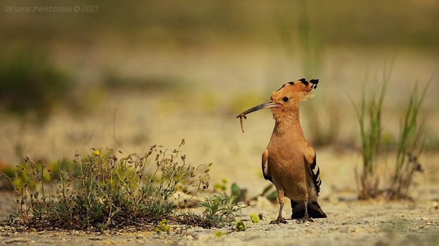 Птица удод
