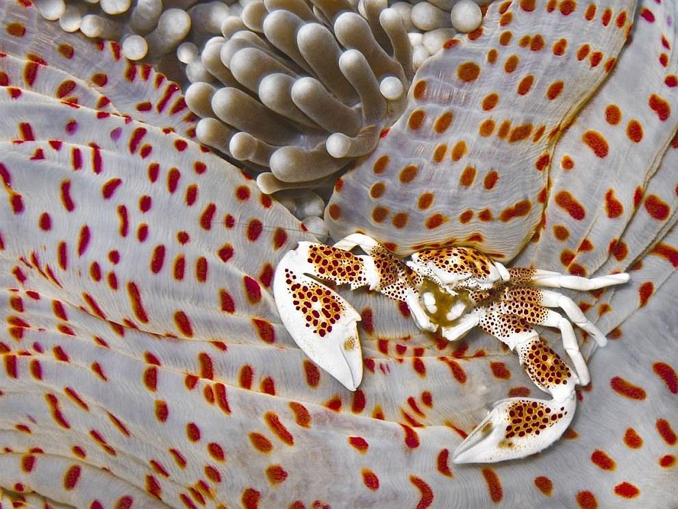 Краб анемоновый пятнистый на Филиппинах