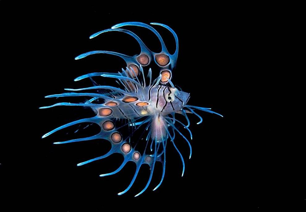 Потрет крылатки из Гондураса занял 1 место в категории «Рыбы ли морская жизнь»