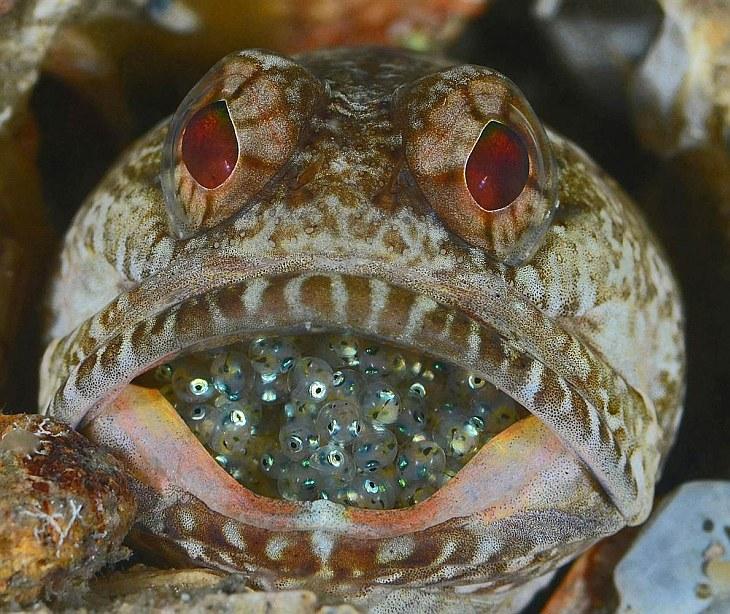 Самец большерота (Opistognathus macrognathus) хранит икру во рту, пока из нее не вылупятся мальки