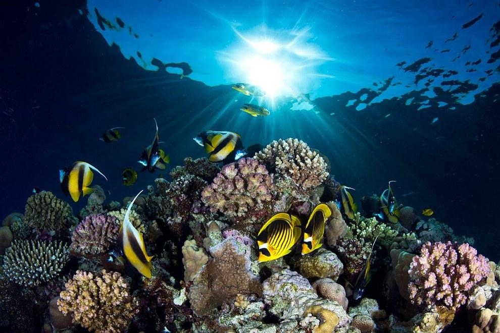 Бабочки-еноты (лунула) и рыбы-ангелы плавают вокруг рифа в Красном море недалеко от Шарм-эль-Шейх, Египет