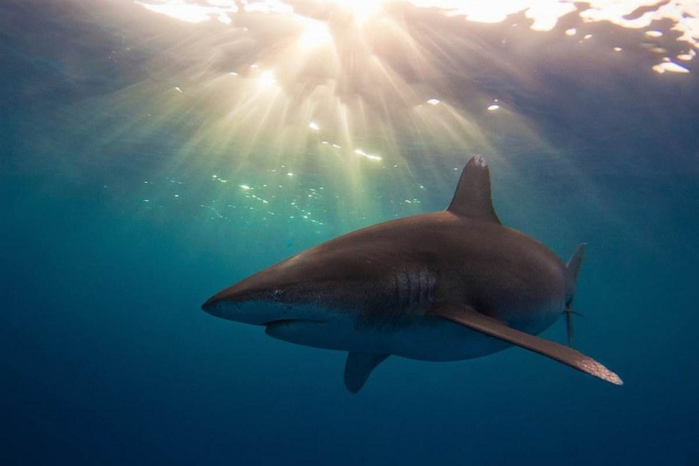 Длиннокрылая акула на Багамах