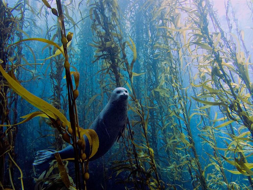 Тюлень среди ламинарии — морской капусты