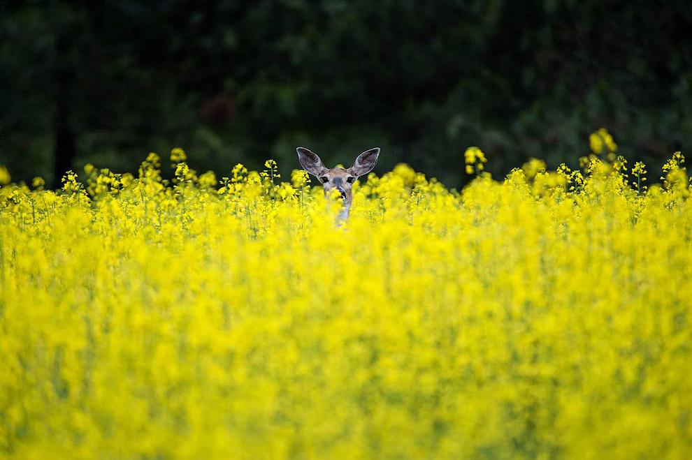 Олень в полях в штате Вашингтон