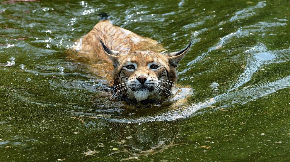 Рысь плавает в пруду в парке животных