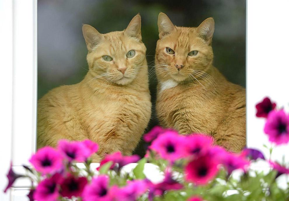 Две кошки смотрят из окна в старом городе Цвингенберге, Германия