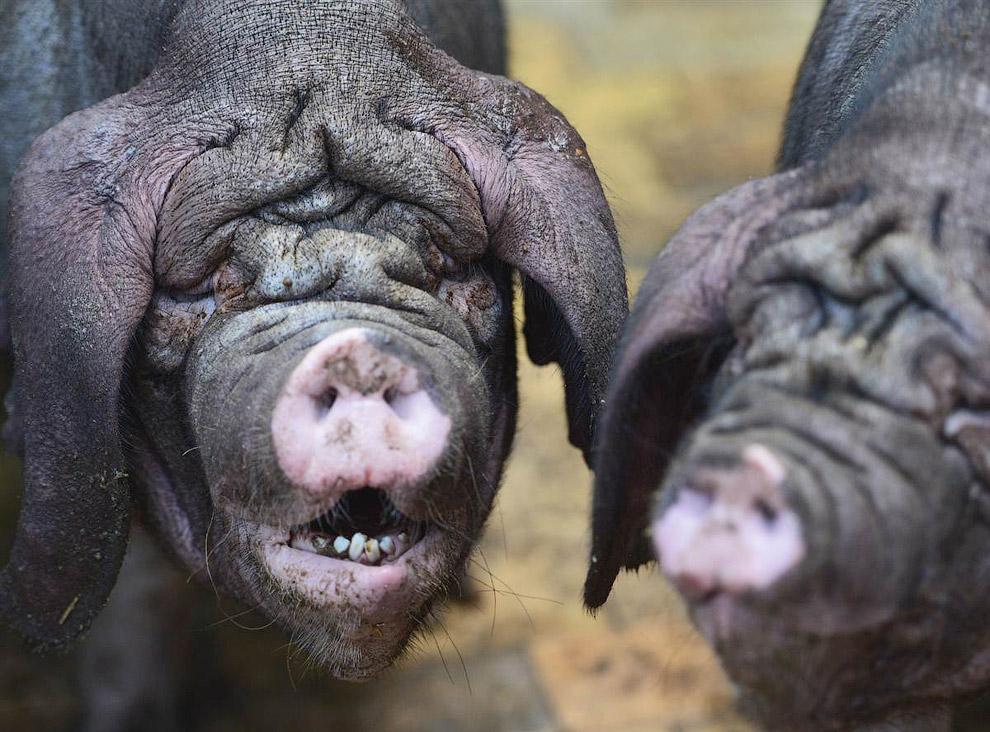 Meishan — это порода домашних свиней, названа в честь китайской префектуры Meishan