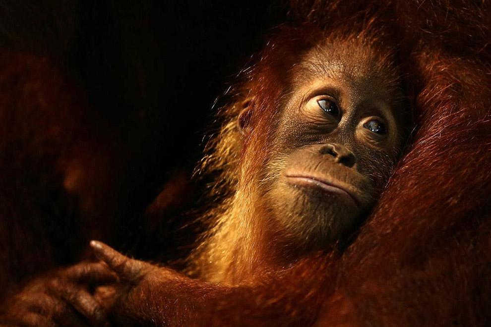 Очаровательная обезьяна