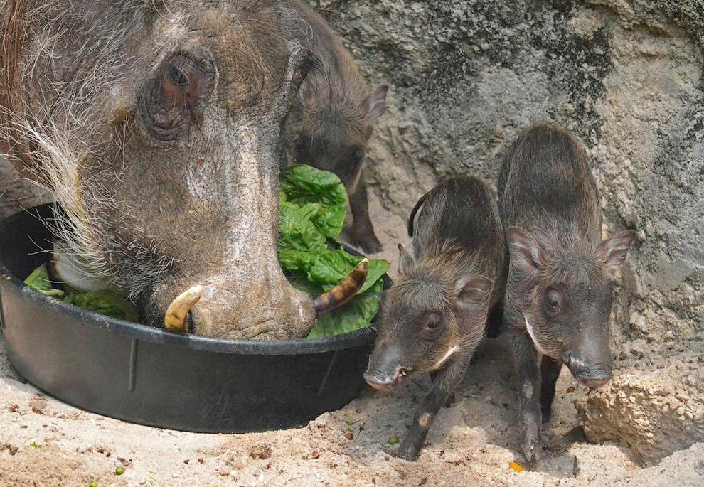 Бородавочники с мамой в зоопарке в Балтиморе, США