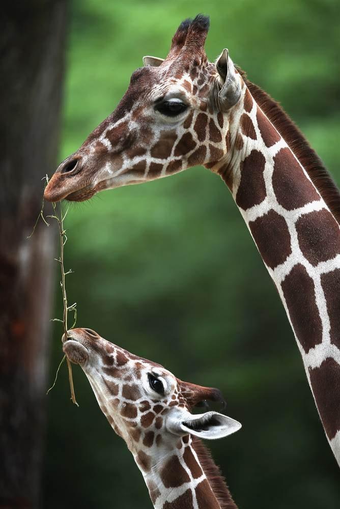 7-месячный жирафенок с мамой в зоопарке города Брукфилд, штат Иллинойс