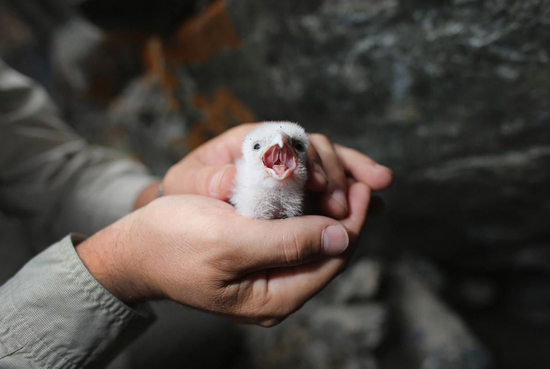 Птенец сокола-сапсана