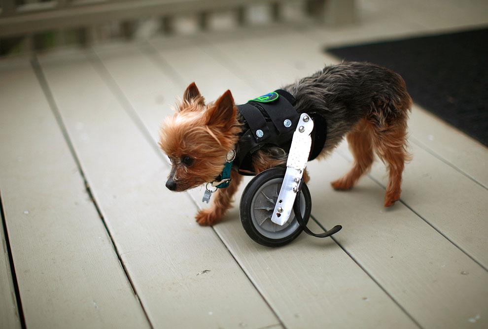 Йоркширский терьер из Колорадо по кличке Надежда пользуется компактным инвалидным жилетом для одной конечности