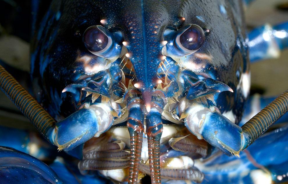 Портрет Европейского омара (Hommarus Gammarus)