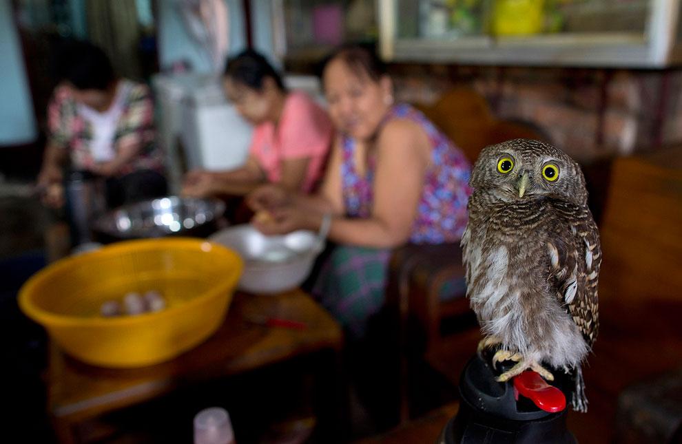 Маленькая одомашненная сова из Мьянмы