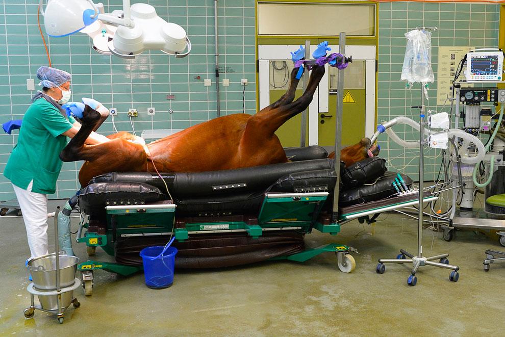 Ветеринар готовит лошадь к кастрации в клинике для животных в Берлине