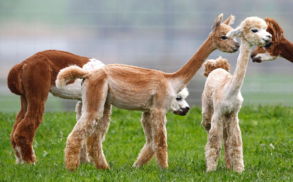 Альпаки — домашние парнокопытные животные, произошедшие от викуньи