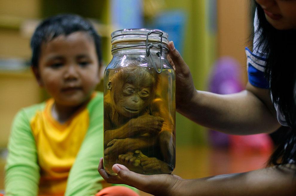 Интересный способ рассказать посетителям о дикой природе практикуют в «Умном доме Ancol», расположенном в Джакарте. Здесь находятся около 20 законсервированных животных, которых демонстрируют экскурсоводы