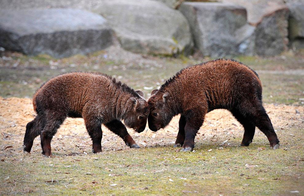 Игры тибетских такинов в зоопарке в Берлине, Германия