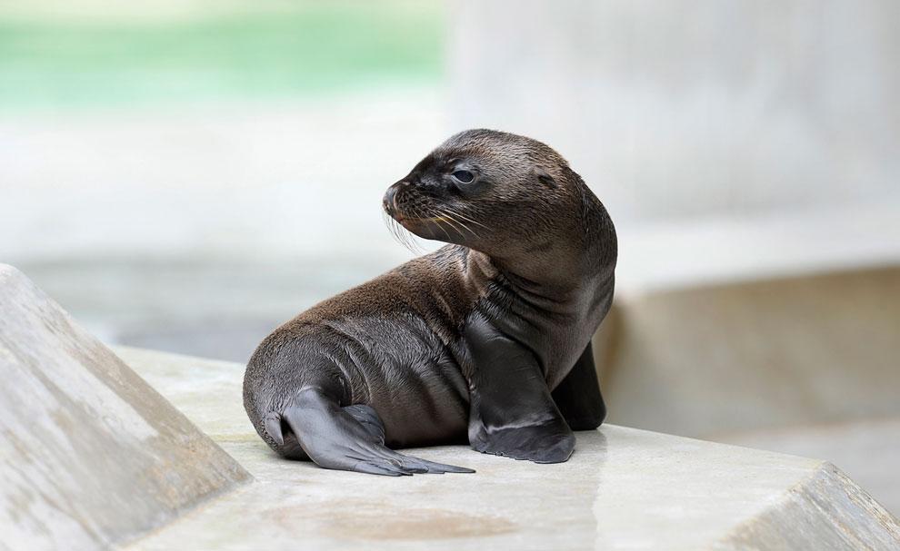 Маленький морской лев в своем вольере в зоопарке Мюнхена, Германия