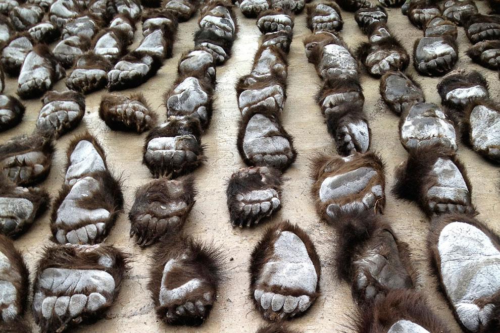 Сотрудники таможенной службы в Маньчжурии в автономном регионе Внутренней Монголии на севере Китая задержали двоих россиян с крупнейшей контрабандной партией медвежьих лап
