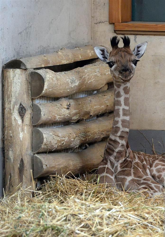 1-недельный жирафенок в Будапештском зоопарке