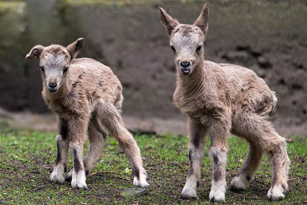 Молодые горные козлики в зоопарке города Вроцлав, Польша